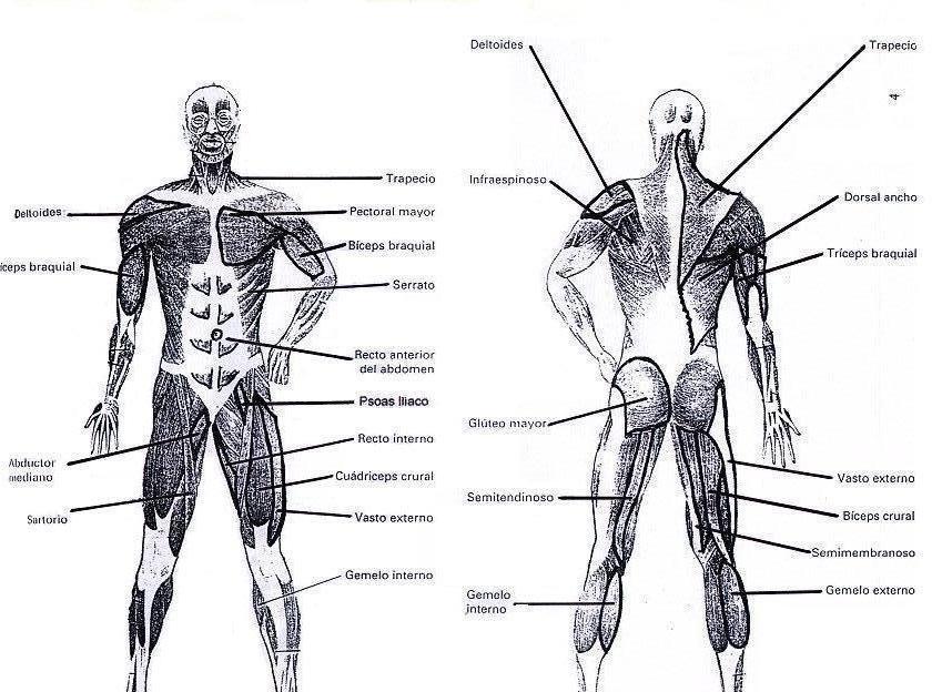Sistema muscular y sus partes | Decoracion de uñas